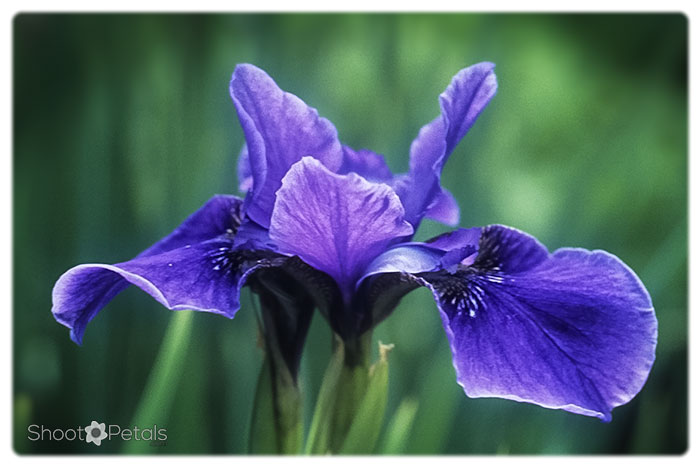 Deep violet bloom with blurred background close up.