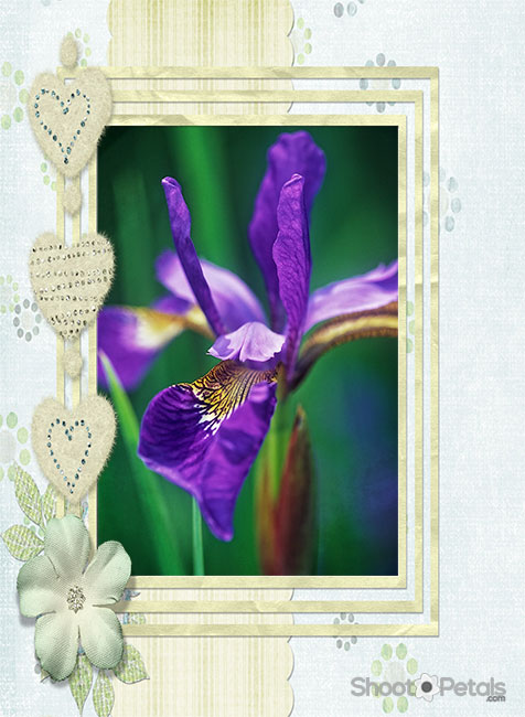Brilliant coloured purple I sibirica as a framed card.