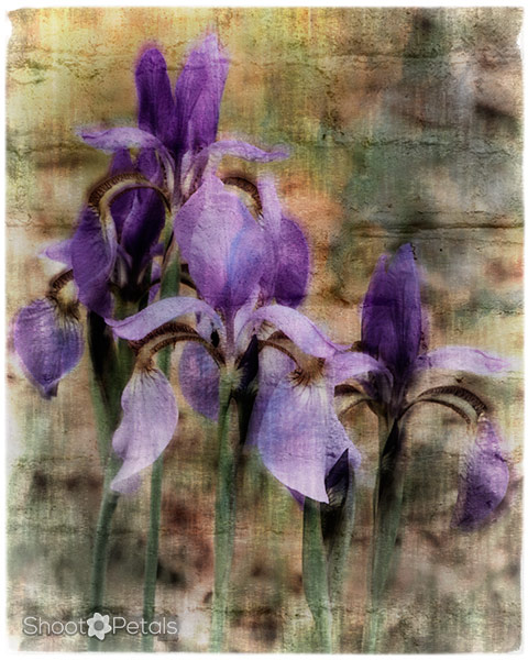Group of purple irises edited with textures.