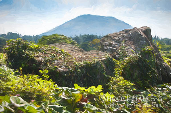 Squashes Growing Among Volcanic Rock and View of Halla Mountain