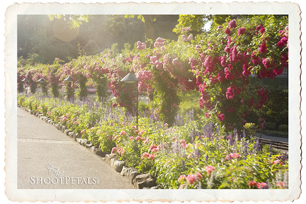 Path of Roses Butchart Gardens, Victoria