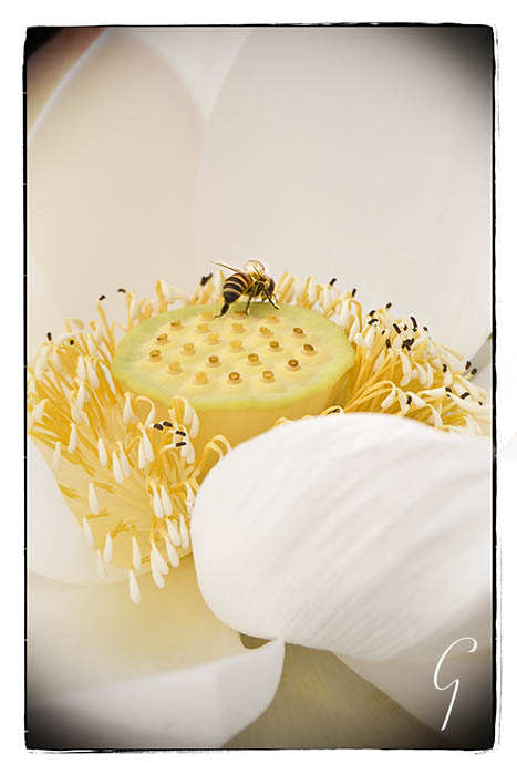 White lotus blossom with bee on pod
