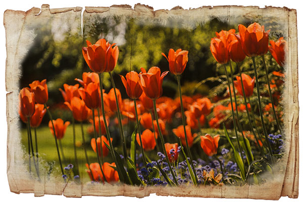 Orange Darwinian tulips on antique paper