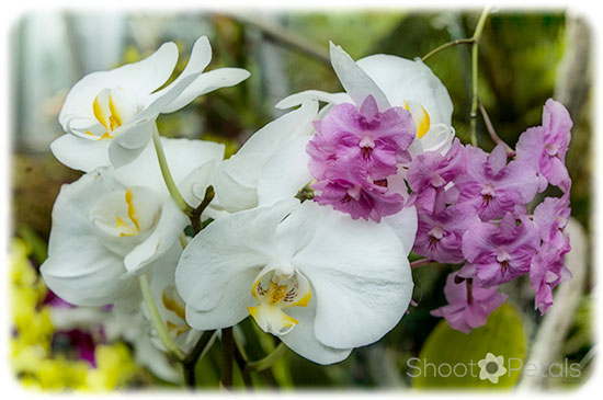 White phalaenopsis and violet epidendrum orchids