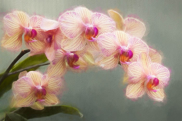 Magenta and white phalaenopsis orchids