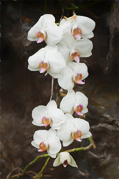 White Phalaenopsis Orchids In Thailand