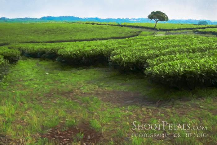 O'Sulloc Green Tea Field