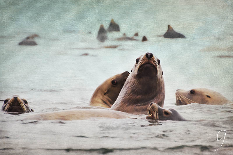 Painterly Stellar Sea Lions