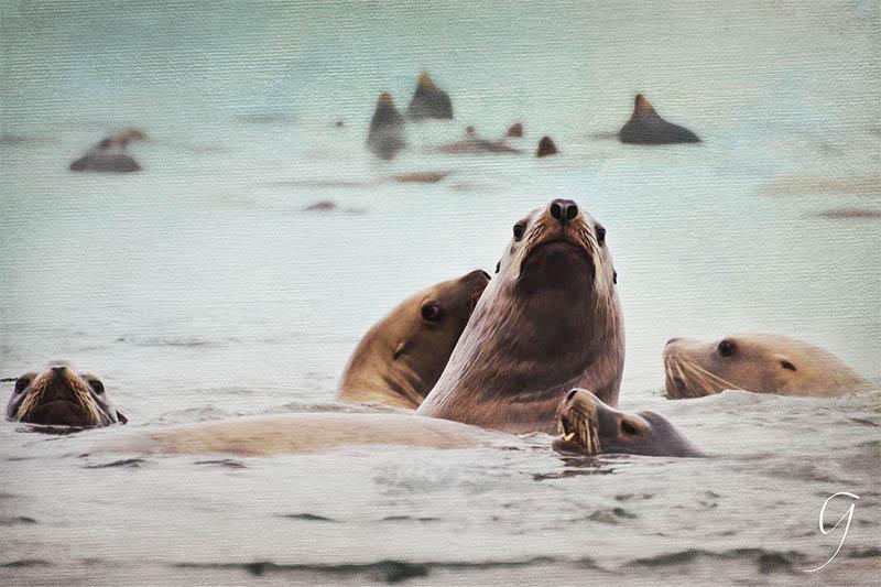 Painterly Stellar Sea Lions