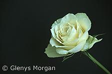 Yellow tea rose isolated on black background