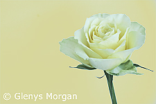 Yellow tea rose isolated on beige background