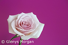 Pink tea rose isolated on bright pink background