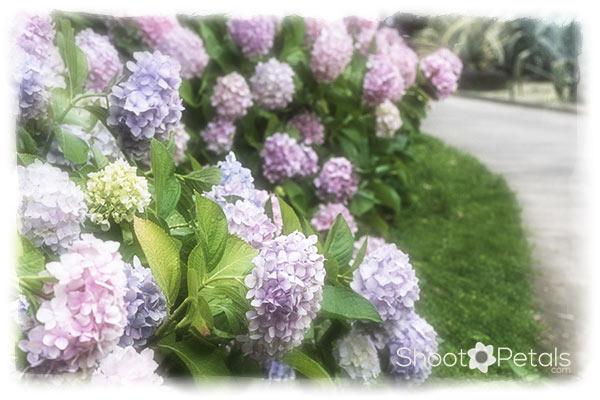 Hydrangea walk in summer.