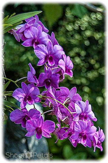 Violet coloured vanda orchids.