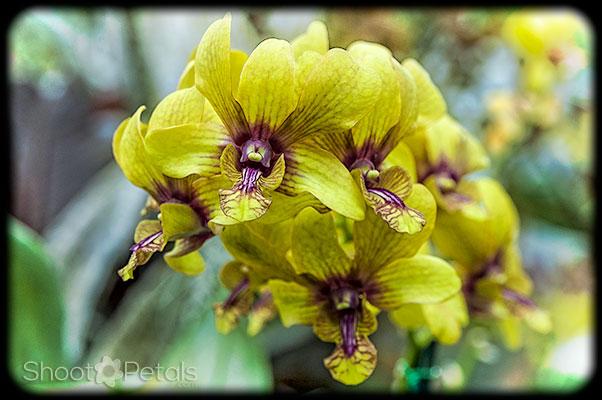 Deep sunny yellow orchids on light foliage.
