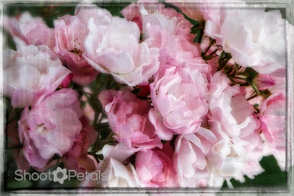 Soft pink floribunda roses. Photo editing with textures.