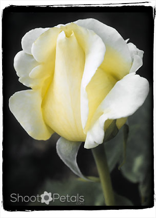 Dainty light yellow tea rose on black.