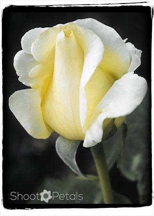 Dainty light yellow tea rose on black.
