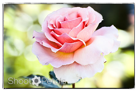 Delicate light pink tea rose.  A light pink rose symbolizes happiness.
