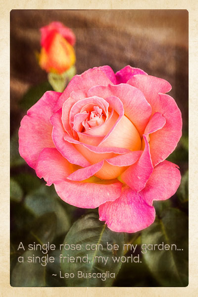 Manitoba Peace Rose with quote.
