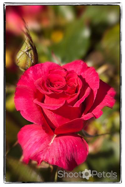 Pictures of roses, fuchsia red tea rose
