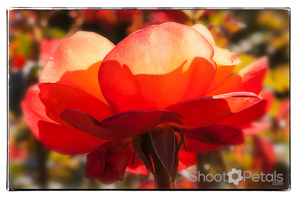 Backlit orange tea rose photo -