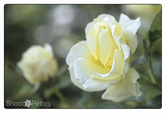 Delicate yellow tea rose, VanDusen Rose Garden
