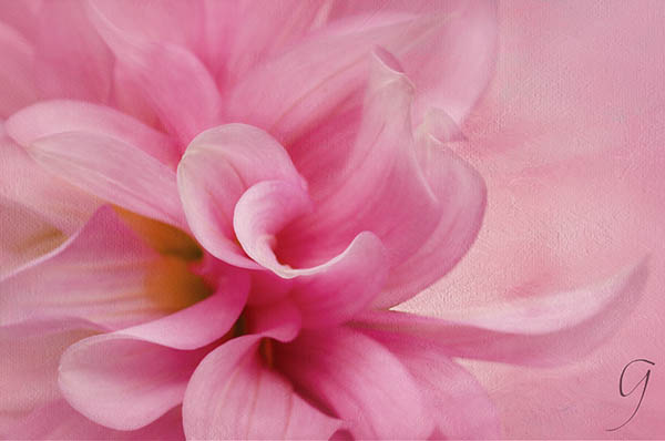 Pink and White Dahlia With Painterly Texture