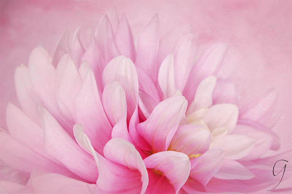 Pink and White Dahlia With Texture Background