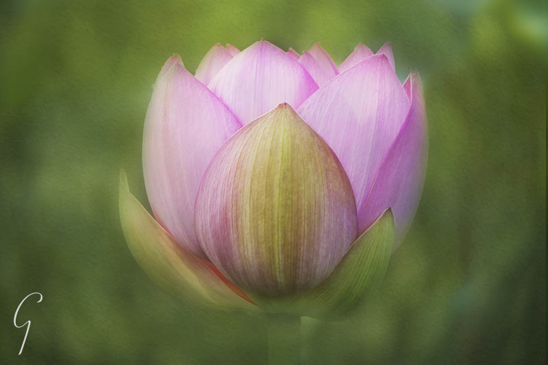 Pink Lotus In South Korea.