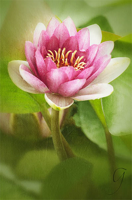 Pink Waterlily in Daegu, South Korea