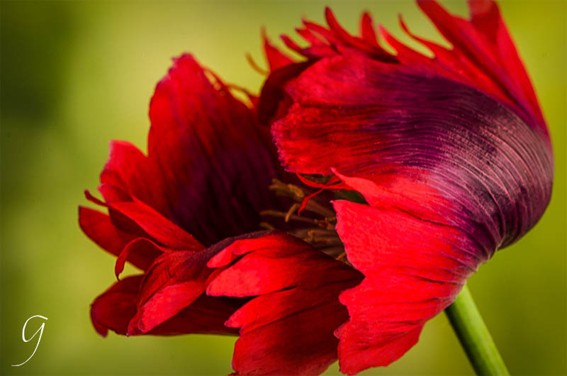 Poppy flowers snazzy jazzy and addictive brilliant fringed red and purple oriental poppy papaver orientale af s micro nikkor 105 mm lens mightylinksfo Choice Image