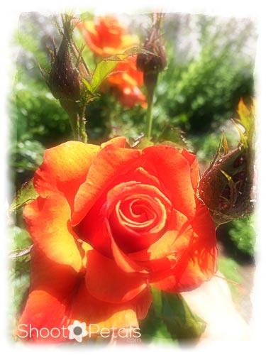 Orange Roses in Queen Elizabeth Park