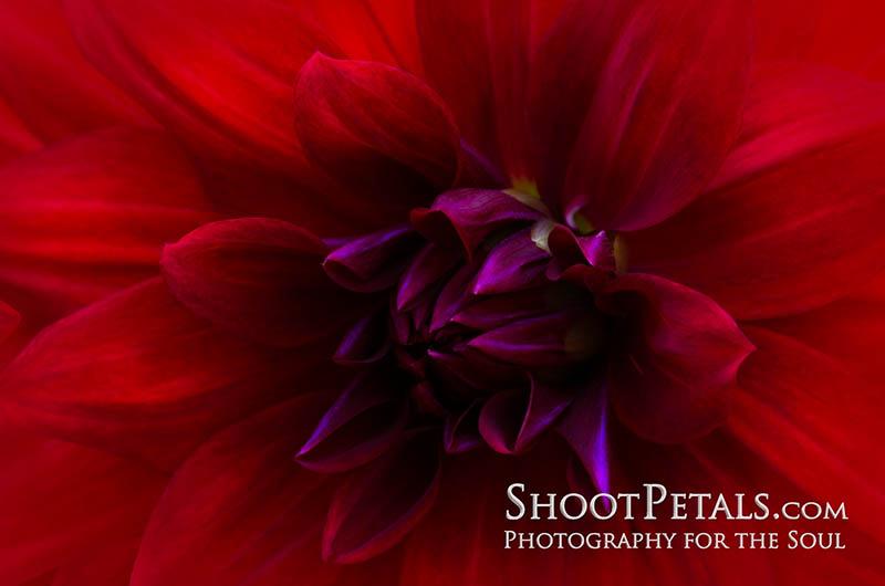 Fiery Red Dahlia In Beautiful Light