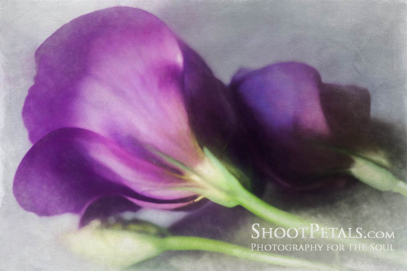 Glowing Purple Freesias In Window Light