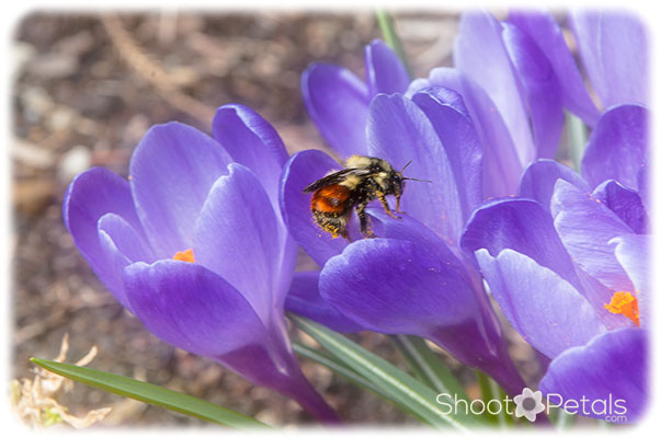Orange-belted bumble bee on purple crocus.