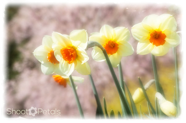Glowing yellow daffodils, orange trumpets, with cherry blossoms.