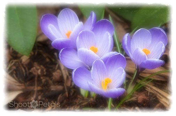 Dreamy purple-blue spring crocuses