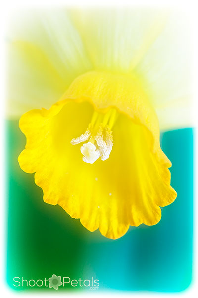 Miniature yellow daffodil on turquoise background