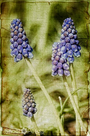 Grape hyacinths with linen and paper textures.