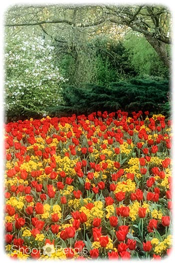 Vivid red tulips and yellow daffodils