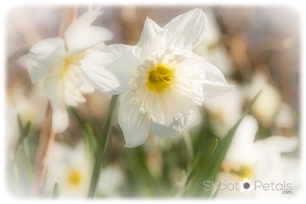 White daffodils looking towards the sun