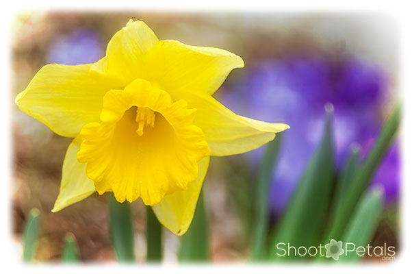 Spring bulbs, sunny daffodil and purple crocuses.