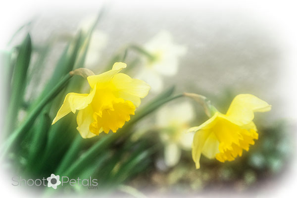 Light yellow and white glowing daffodils.