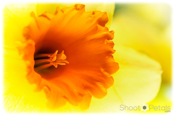 Bright yellow daffodil with orange trumpet