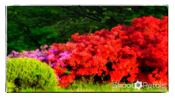 Spring, glowing rhododendrons