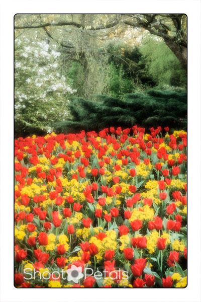 Queen Elizabeth Park tulips and daffodils near The Seasons Restaurant