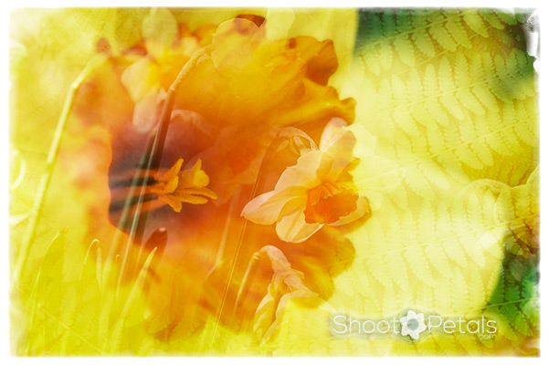 Spring daffodil with layer of ferns