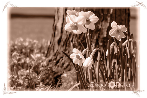 Originally yellow and orange daffodils, now sepia.