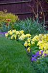 Primrose Border in Spring